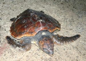 Juv Loggerhead turtle, Wexford Jan 2008, Tony Murray, NPWS