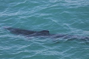 Basking shark, 31st March 2016, another season first for West Cork.