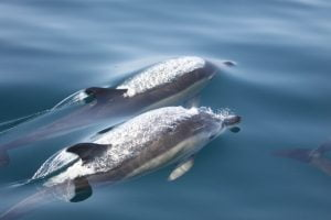 Common dolphins on a trip with Cork Whale Watch, West Cork, Ireland
