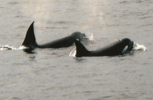 Killer whales in West Cork