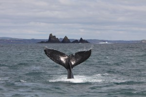 Humpback whale in front of The Stags, West Cork